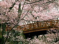 Cherry Blossom ; Ravished by a Jealous Nature