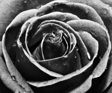 Black Rose by Alex