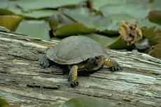 Distant Turtle