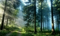 Enchanted Pine Forest
