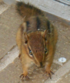 Churbo the Chipmunk