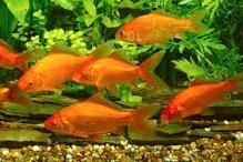 Scenic Highway Goldfish