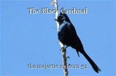 The Black Cardinal