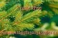 ? pine tree