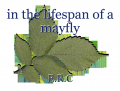 in the lifespan of a mayfly