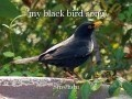 'my black bird song'