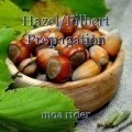 Hazel/Filbert Propagation