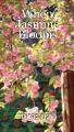 When Jasmine Blooms