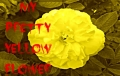 My Pretty Yellow Flower