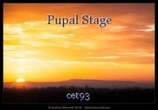 Pupal Stage