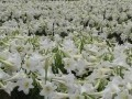 A Crowd Of Lilies