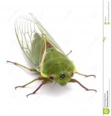 No Xanax For Cicadas
