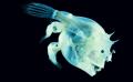 Angler Fish: Romantic Attachment At Whole New Level
