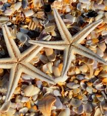 Sand dollars and Sea Stars