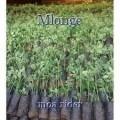 Mlonge