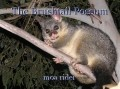 The Brushtail Possum