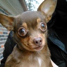 Agnes, my Chihuahua