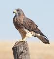 Hawk's Song