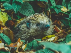 The Life of Hedgehogs