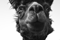 The History of Camels