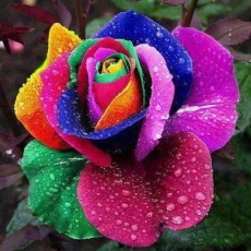 A creative writing prompt on a rainbow rose