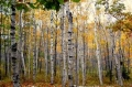 Birch Urkey — The autobiography of a tree