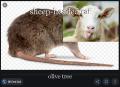 sheep-headed rat