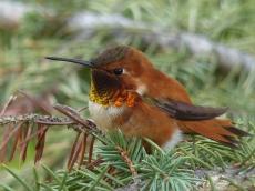 Hummingbird Visitors
