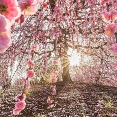 To he Scent of Cherry Blossoms