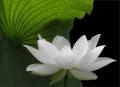 The Beginning of Lotus