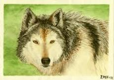 Staring Wolf