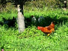 Chicken in the meadow