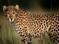 CHEETAH ( Angellynn's Animal Challenge )