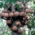 Cannon Ball Fruit Tree