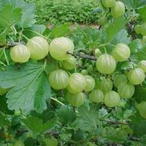 Gooseberry Warriors