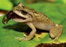 Singing Tree Frogs on Lava Rock