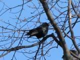 Crows Landing