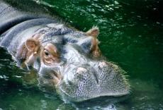 Sneezy Hippo