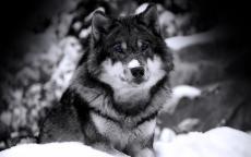 thewolfwhowentbad