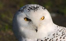 Snow Owl Bright Eyes
