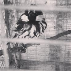 chickosophia