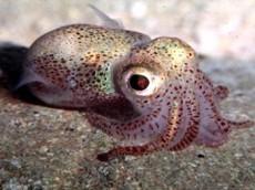 sapient squid