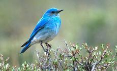bluebird22