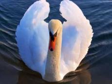 White Rose Swan