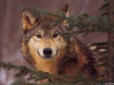 WolfWriter12