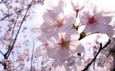 BlossomingAppleTree