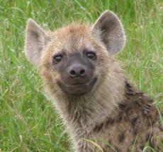Hyenaaa