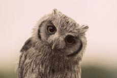Joseph Owl