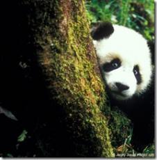 Perplexed Panda
