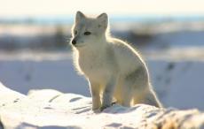 Fox Fever